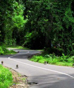 Bawun Pusuk Monkey Forest (1)