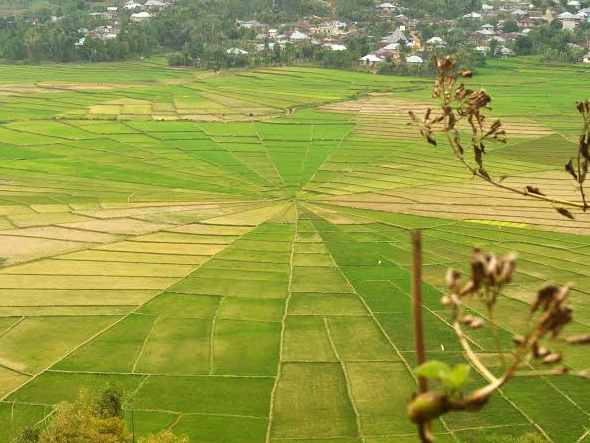 spider web rice field in flores island